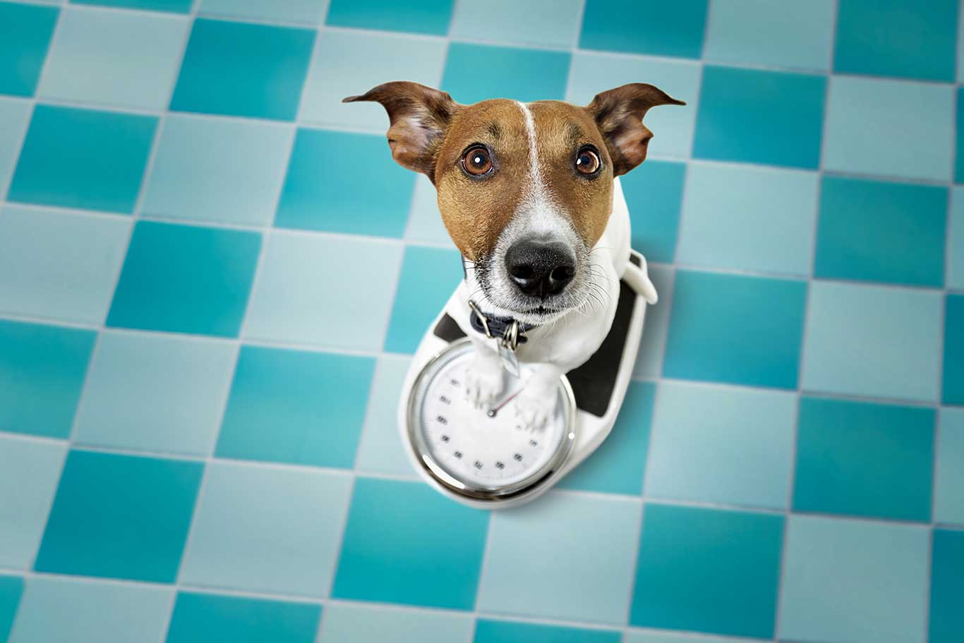 Cute Terrier hold clock and waiting for dinner