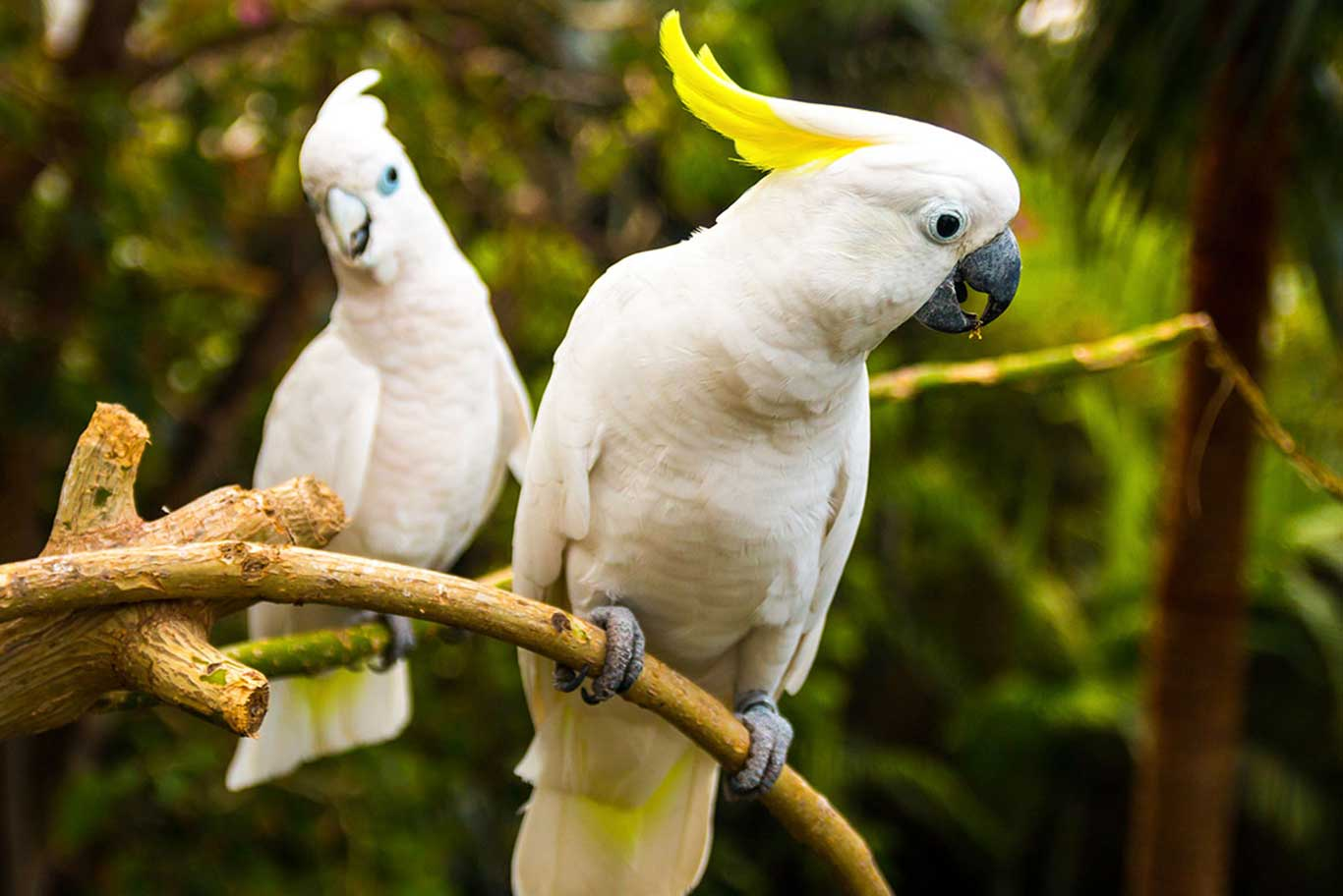A pair of white parrots