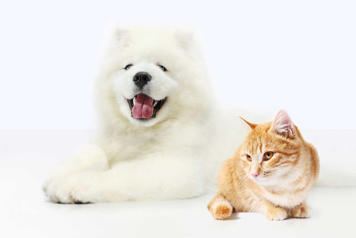 White puffy dog in company of a cat