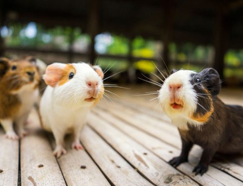 Caring for Guinea Pigs, Rabbits and Ferrets